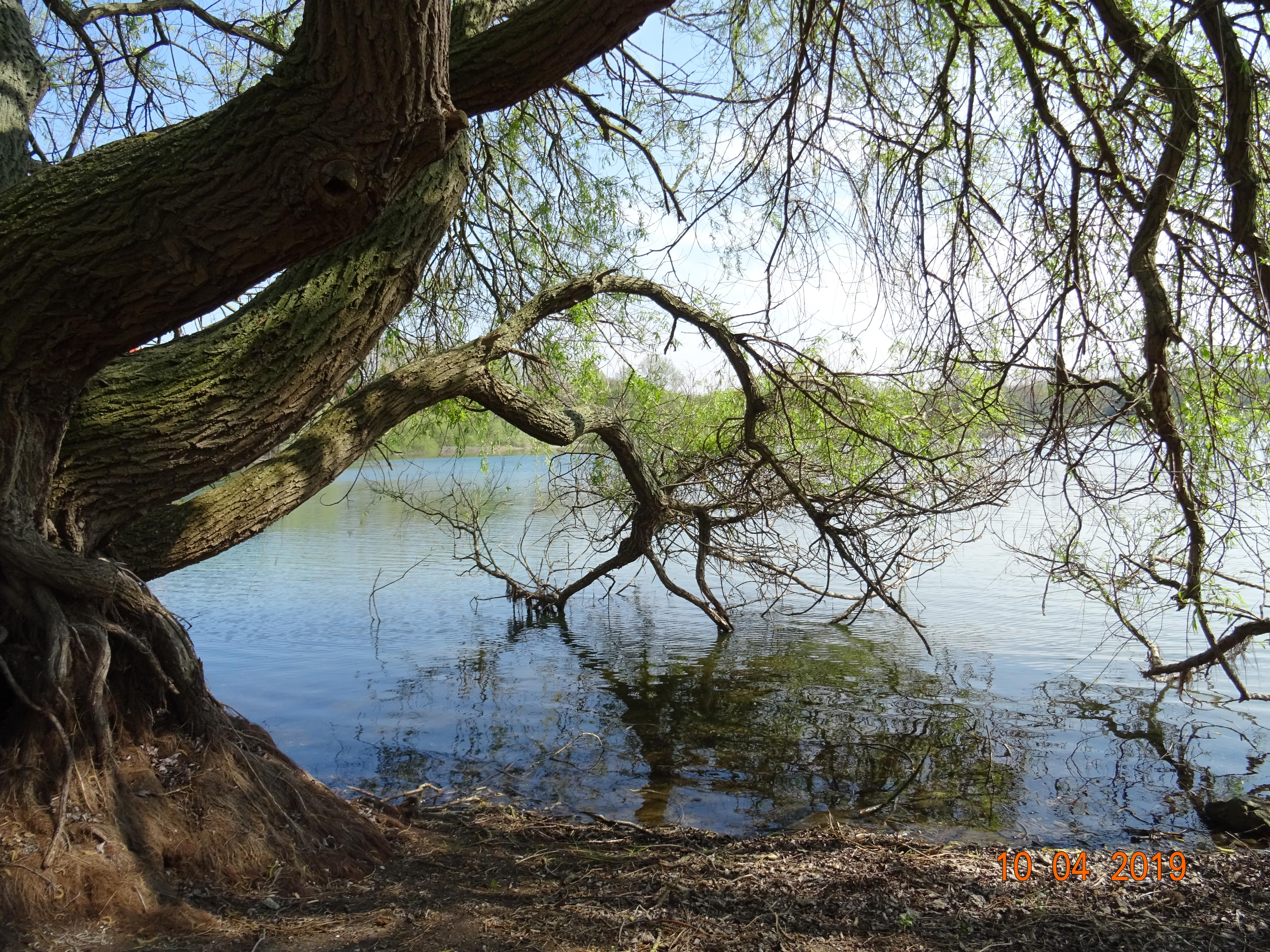 Salix alba Triste